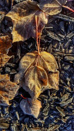 frost on autumn leaves. Banco de Imagens