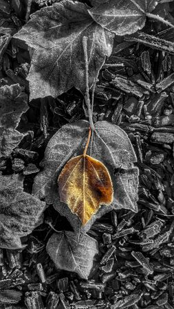 autumn leaves one in color the other in  black ans white.