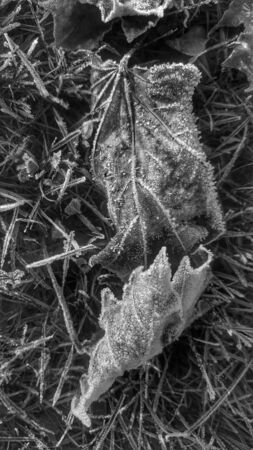 frost covered leaves done in black and white