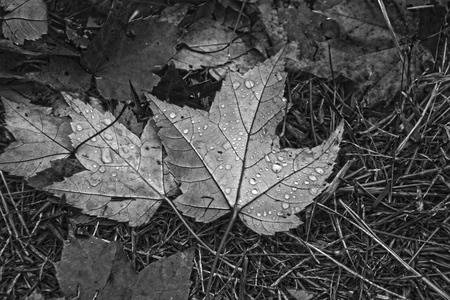 autumn leaves with rain drops on it done in black and white