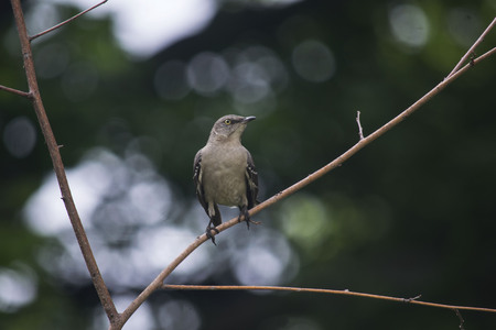 mocking bird sitting on a branch