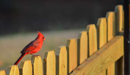 redbird: Male northern cardinal setting on wooden fence