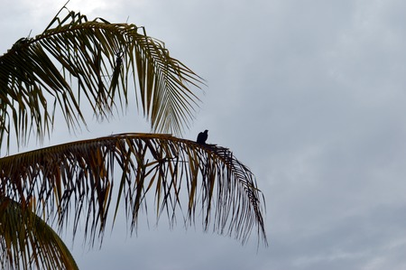 palm frond: Bird grackle sitting on palm frond in Varadero, Cuba