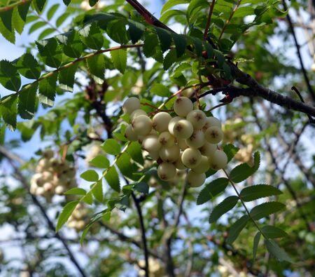 sorbus: White-fruited rowan, or mountain ash, native to Yunnan, China