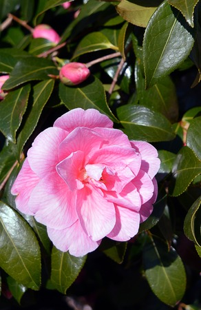dark green: Pink flower and buds of Camellia japonica set against its dark green leaves