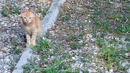feral: Feral ginger kitten, Rome, Italy