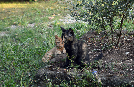tortoiseshell: Two feral kittens in a Rome orchard, Italy, one ginger, one tortoiseshell