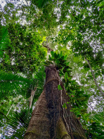 Brazilian TREE SHOWING ITS UPPER TWIGS WITH THE BACKGROUND SKY. THIS TREE IS LOCATED IN THE MIDDLE OF THE AMAZON FOREST.