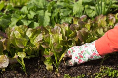 Woman planting salad seedlings in her kitchen garden.