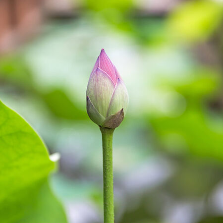 calyxes: Lotus bud close up