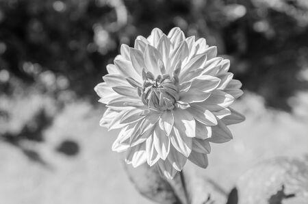 dahlia flower: Dahlia flower in nature-black & white Stock Photo