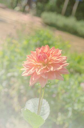 dahlia flower: Dahlia flower in nature, beautiful dahlia flower in the garden