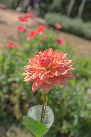 dahlia flower: Dahlia flower, dahlia flower in full bloom in the garden, dahlias in a garden