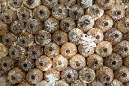 oyster mushroom color brown of mushroom cultivation