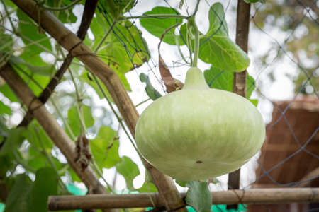 botle: bottle gourd gourd in traditional greenhouse, organic farm Stock Photo