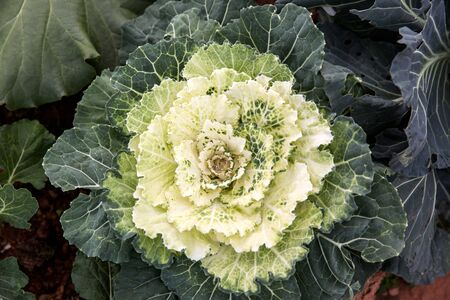 flowering kale: decorative white cabbage or kale in garden, background of green decorative cabbage