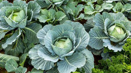 cabbage patch: cabbage in the garden,fresh kitchen garden cabbage