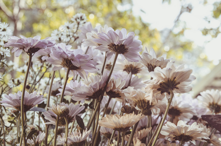 cosmos flowers with soften filter - vintage color tone Stock Photo