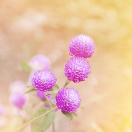 trifolium: clover flower - selective focus Stock Photo