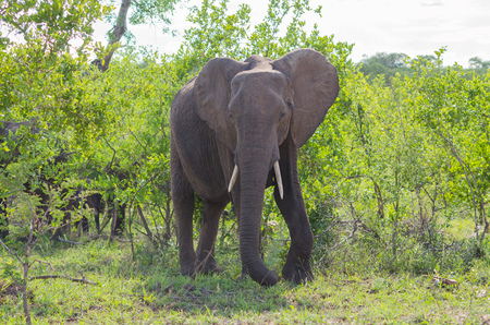 huge tree: African bush elephant in the wild