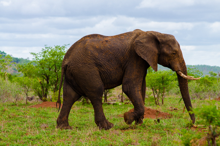 huge tree: Elephant walking in its natural habitat green grass and small trees