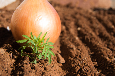 Green plant and onion on soil surface on a cold winters morning Stock Photo
