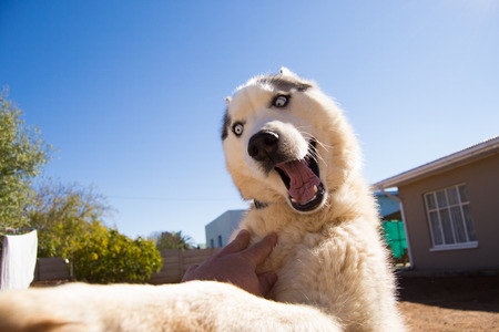 Husky dog playing outside with human making a crazy and cute face