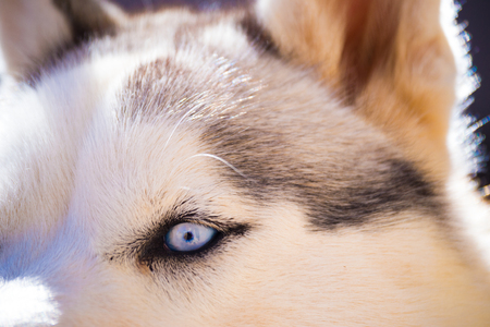 Close-up of a husky dogs blue eye with white and black coat Stockfoto