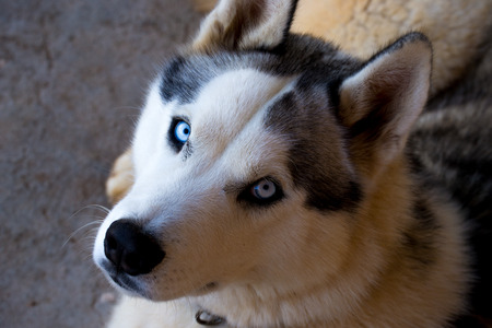 Portrait of a calm husky dog lying with light blue eyes and white and black furry coat Stockfoto