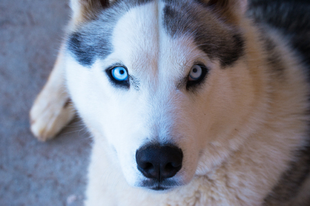 Husky dog laying with blue eyes and black and white furry coat