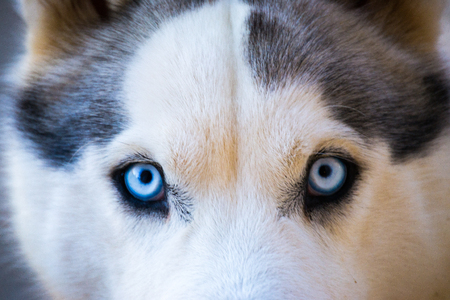 Close-up of beautiful husky dogs face with  blue eyes with white and black furry coat