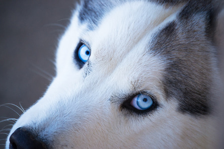 Close-up of calm husky dogs face with  blue eyes with white and black furry coat
