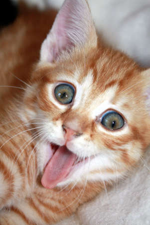 Red kitten with open mouth Stock Photo - 11571023