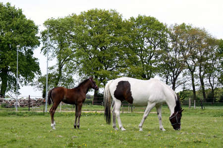 Horse and foal grazing in the meadow photo
