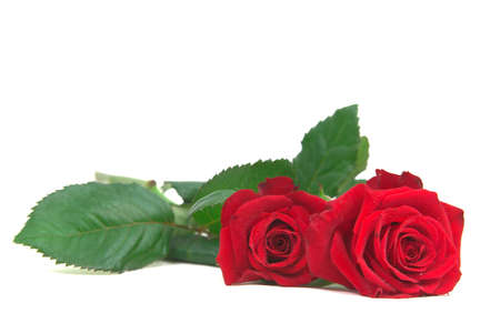 two roses laying down isolated on white with copy space, deep depth of field