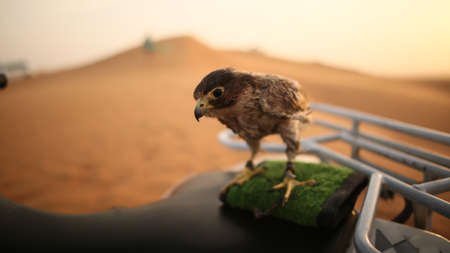 Eagle sitting. Slow motion. Desert in Abu Dhabi, United Arab Emirates.