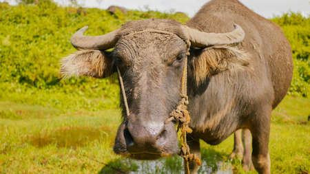 Filipino buffalo in field. Face close-up. Philippines. Foto de archivo
