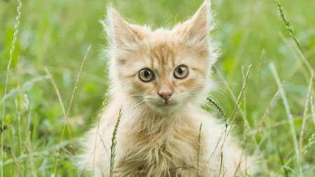 Red fluffy kitten on the green grass meows.