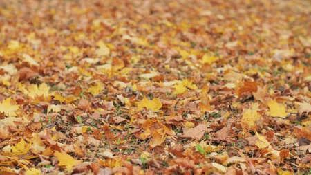 Autumn fallen foliage in the city park.