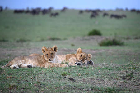 cubs: two lion cubs