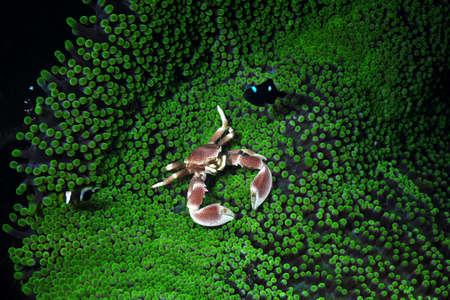 porcelain: porcelain crab Stock Photo