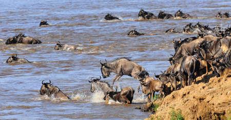 animales safari: gran migración Foto de archivo