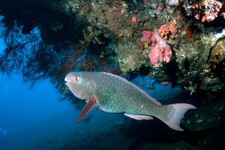 Parrotfishes swimming near the coral Stock Photo - 6806794