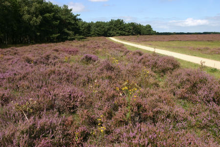 season specific: Beatiful purple field of Dutch heath with segregated cycle facilities. Stock Photo