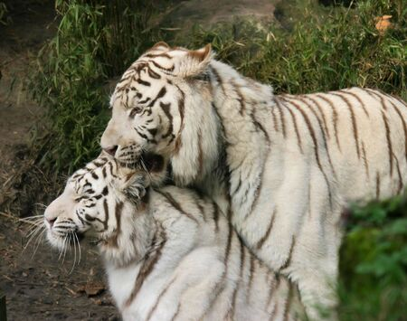 white tigers: A couple of white tigers making love in the Zoo Stock Photo