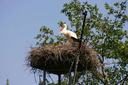 White stork on the nest, Ankeveen the Netherlands  photo