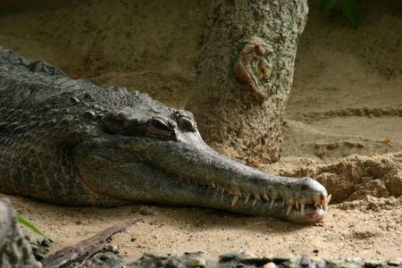 reptillian: A crocodile in the zoo