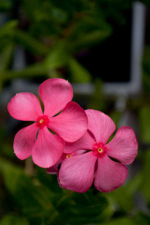 apocynaceae: pink Cape Periwinkle flower nature