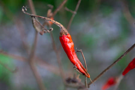 wilted: wilted red pepper nature