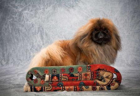 pekingese: Portrait of Pekingese dog